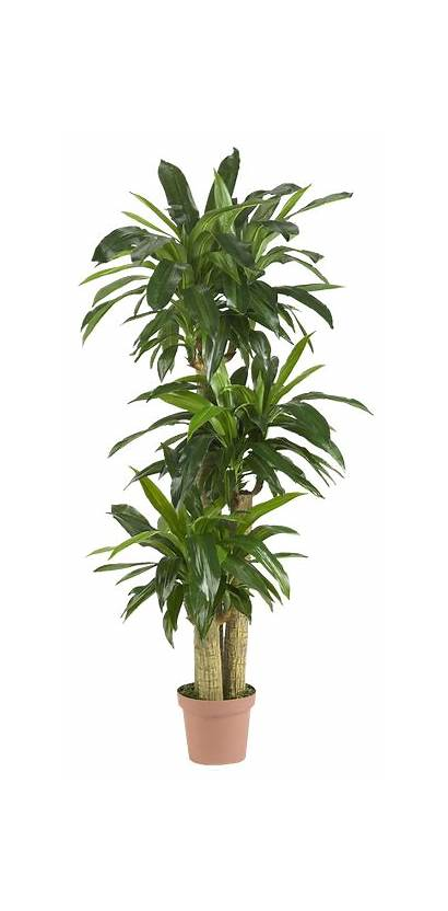 Tropical Plants Plant Indoor Tall Natural Photoshop