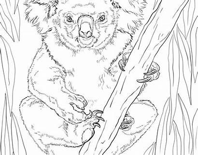 Realistic Coloring Pages Wildlife Koala Printable Preschool