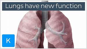 Lungs Have A New Function - Human Anatomy