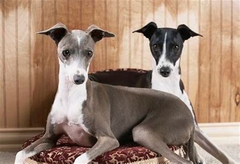 funny greyhound habits  pets central