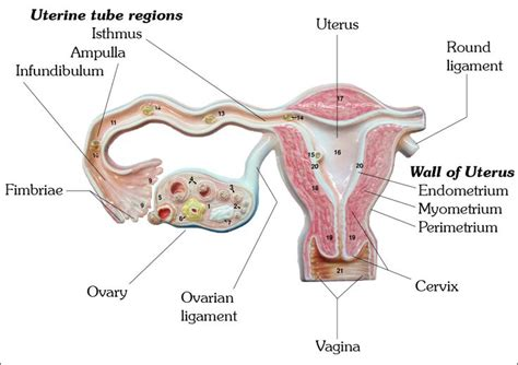 uterine wall shedding pregnancy the uterine fallopian uterus uterine wall