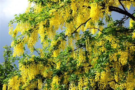 tree with yellow flowers beautiful flowering spring tree wallpapers and images wallpapers pictures photos