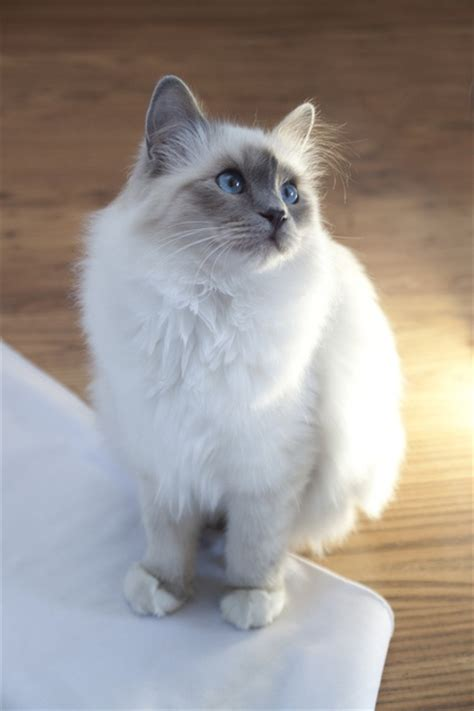 Top 10 Cat Breeds  Annie Many