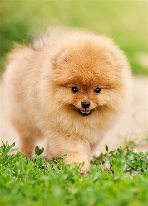 Small Toy Dog Breeds