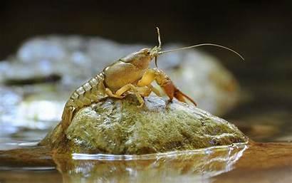 Shrimp Animal Wallpapers Backgrounds Background Desktop Computer