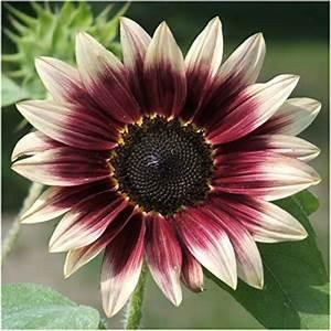 Seed Needs  Cherry Rose Sunflower  Helianthus Annuus  Twin