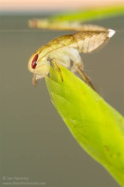 """Images Tagged """"creepingwaterbugnymph""""  Life In Freshwater"""