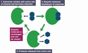 Igcse Biology 2017  2 10  Understand The Role Of Enzymes