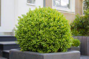 Balkonpflanzen Sonnig Pflegeleicht : immergr ne pflanzen die 6 beliebtesten f r ihren garten ~ Frokenaadalensverden.com Haus und Dekorationen