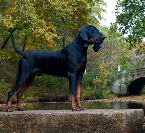 Black and Tan Coonhound Breed Guide - Learn about the ...
