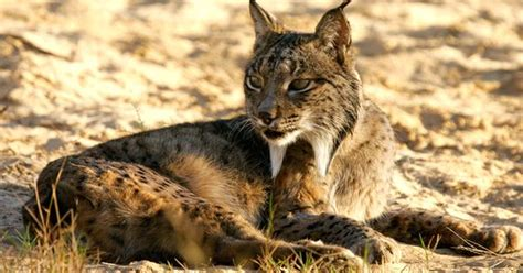 lince iberico el felino mas amenazado del mundo fauna