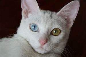 cats facts: white cat with blue and green eyes