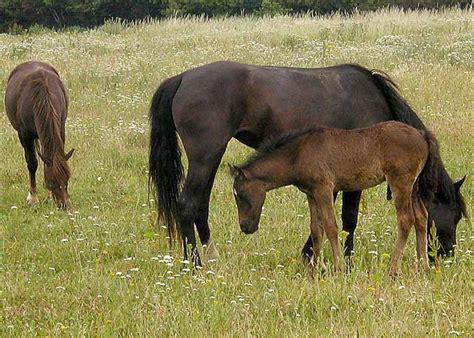 how do horses stay horse breeding wikipedia