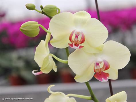 phalaenopsis orchid moth orchid pictures phalaenopsis pictures