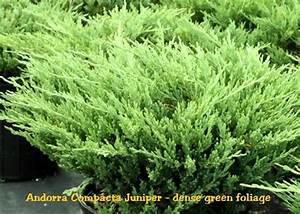 Andorra Compacta Juniper   Juniperus