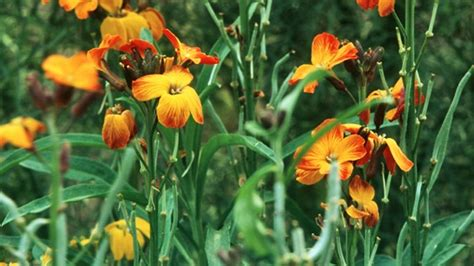 Goldlack Im Garten: Blüht Bis In Den November