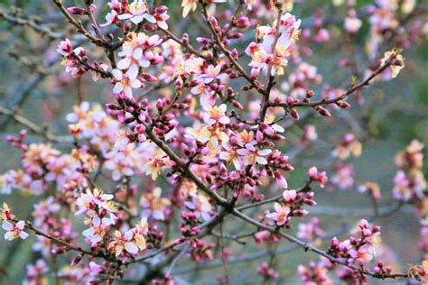 Free Images : spring nature tree flowers almond