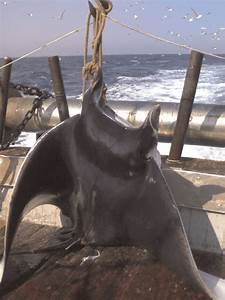 Dorsal View Of The Male Specimen Of The Giant Devil Ray