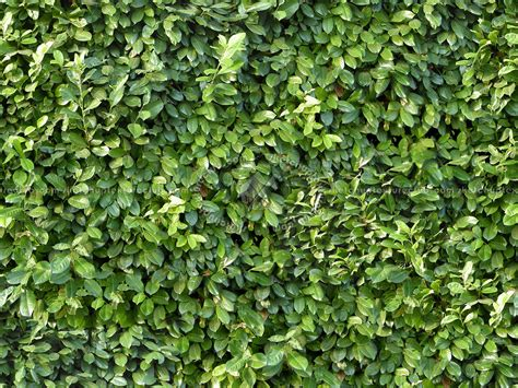 Green hedge texture seamless 13067