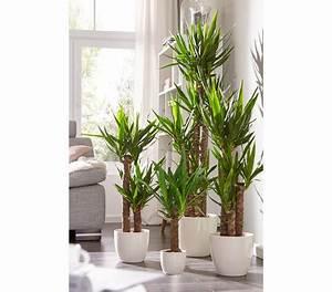 Yucca Palme Garten : yucca palme dehner garten center ~ Lizthompson.info Haus und Dekorationen