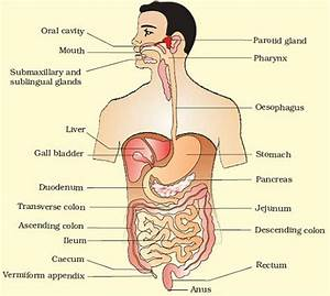 The Human Digestive System  Important For Ugc Net  Upsc
