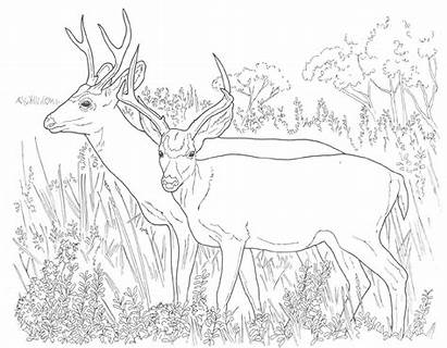 Coloring Deer Pages Animal Whitetail Printable Adult