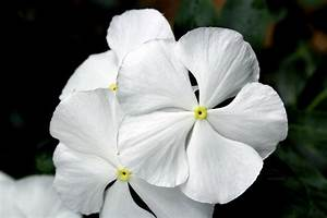Purity Of White Flower Free Stock Photo