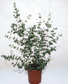 eucalyptus in a pot 1000 images about eucalyptus plants on silver dollar plants and terrarium