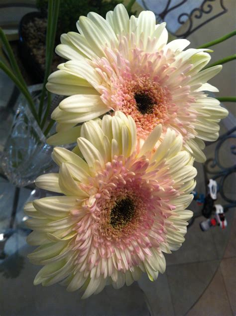 gerbera daisies gerbera daisy flowers pinterest