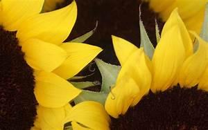sunflowers macro photography - HD Desktop Wallpapers   4k HD