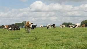 Koeien Willen Vooral  U2019s Nachts Naar Buiten
