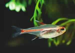 Glowlight Tetra Tropical Fish