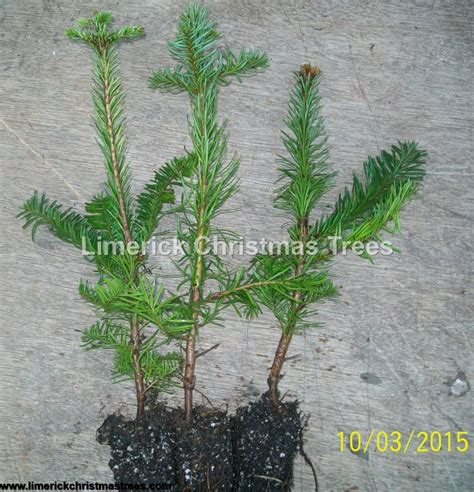 noble fir transplants tree transplants