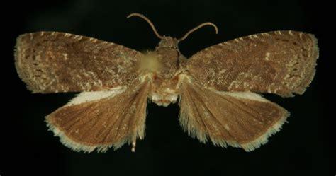 http://www.kleinevlinders.nl/soorten.aspx?p=3&s=417180