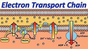 Diagram And Explain Electron Transport