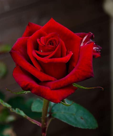 Red Rose Photo 14318 Hdwpro