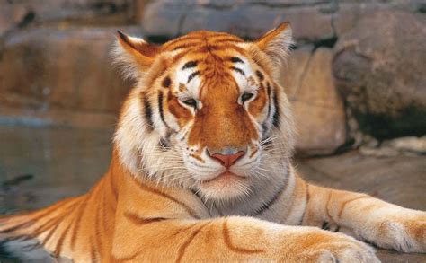 Tiger Island Dreamworld The Big Cats Bengal