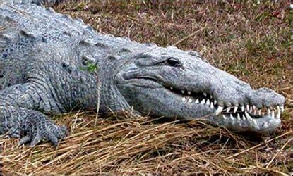 American Crocodile Everglades