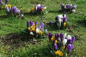 Wann Krokusse Pflanzen : der krokus pflanzen pflegen vermehren und mehr ~ A.2002-acura-tl-radio.info Haus und Dekorationen