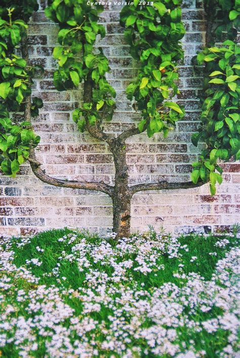 pear espalier 79 best images about espalier on pinterest trees pears and hedges