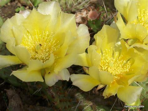 Žalioji ozė...: Opuncija kaktusas