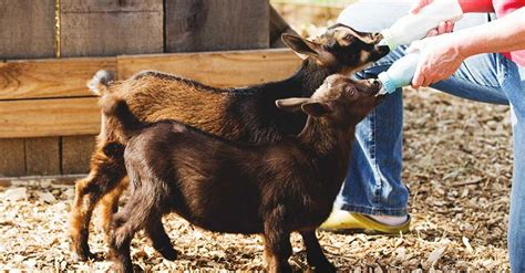 bottle feeding goats  important points