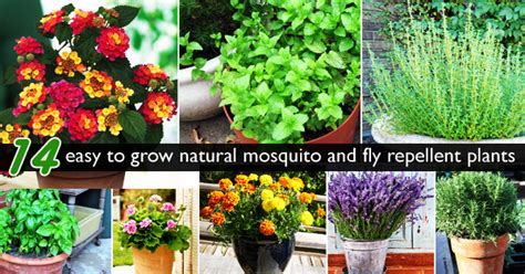plants that repel flies naturally no more malaria lets bring 14 easy to grow plants to repel mosquito fly away blog