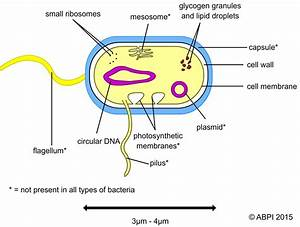 Diagram Of Bacteria Spirilla Gallery - How To Guide And ...