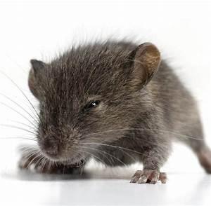 Maus Sauber Machen : jagdverhalten m use werden mit optogenetik zu killermaschinen welt ~ Markanthonyermac.com Haus und Dekorationen