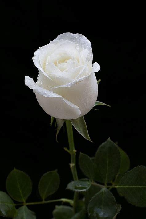 rosa branca white roses wallpaper beautiful flowers