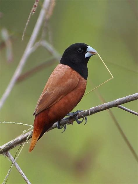 113 best images about feathers finches on pinterest