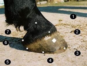 Diagram Of Horse Hoof Heel Bulb