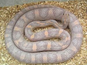 Image Gallery hypomelanistic lavender corn snakes