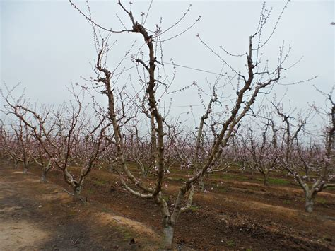 tree pruning pruning fruit trees get plants for less